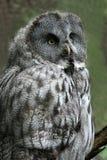 Great Grey Owl. Strix nebulosa royalty free stock image