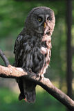 Great Grey Owl. Standing on tree branch stock photos
