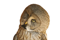 Great grey owl. The Great Grey Owl or Lapland Owl is a very large owl Royalty Free Stock Image