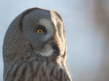 Great grey owl Royalty Free Stock Image