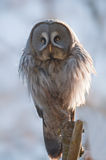 Great grey owl Stock Images