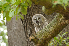 Great Grey Owl. The Great Grey Owl or norge Owl, Strix nebulosa royalty free stock images