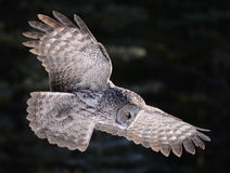 Free Great Grey Owl Stock Photography - 28126462