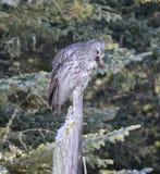 Great Grey Owl Stock Photos