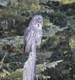 Great Grey Owl Royalty Free Stock Photos
