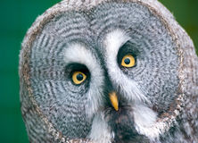 Great Grey Owl Stock Image