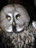Great grey owl. In nature Royalty Free Stock Photography