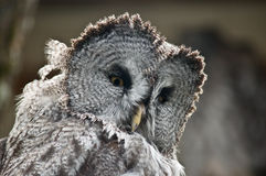 Great grey owl. In ireland Stock Photo