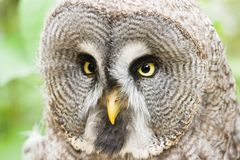 Great grey owl. Is looking to something Royalty Free Stock Photos