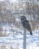 Great grey owl. On fence post. Winter in Northern Minnesota Stock Photos