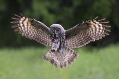 Free Great Grey Owl Stock Photography - 82693432