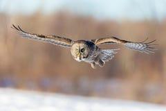 Free Great Grey Owl. Stock Photos - 88354903