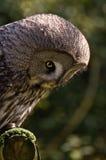 Great Grey Owl Stock Photo