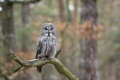 Free Great Grey Owl Royalty Free Stock Photo - 98742935