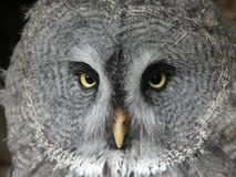 Great Grey Owl, also known as Great Gray owl - Strix nebulosa royalty free stock photos