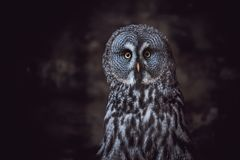 Great Grey Owl (also tawny vulture, Science. Strix nebulosa) is a large owl family of owls. Beautiful wildlife stock photography