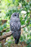 Great grey owl on a branch Stock Image