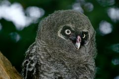 Great Grey Owl Chick Stock Image