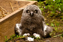 Great grey owl chick. With food Royalty Free Stock Image