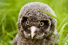 Great Grey Owl Chick. (Strix nebulosa lapponica) looking at viewer - landscape orientation Royalty Free Stock Photos