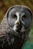 Great Grey Owl. A close up of a great grey owl or great gray owl (Strix nebulosa stock images