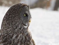 Great grey owl Royalty Free Stock Photos