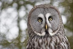 Great grey Owl. A closeup of a captive Great grey Owl,Strix nebulosa,with an out of focus forest royalty free stock photos