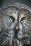 The Great Grey Owl closeup portrait Royalty Free Stock Photo