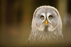 Great grey owl closeup portrait Stock Photos