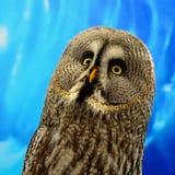 Great Grey Owl. Closeup Great Grey Owl (Strix nebulosa royalty free stock photography