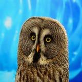 Great Grey Owl. Closeup Great Grey Owl (Strix nebulosa stock photos