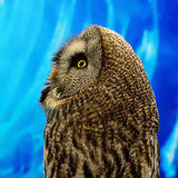 Great Grey Owl. Closeup Great Grey Owl (Strix nebulosa), side profile royalty free stock images