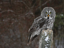 Great Grey Owl and Copyspace Stock Image