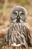 Great Grey Owl with dead mice Stock Photography