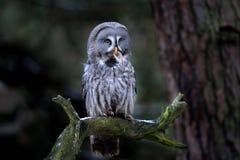 Great grey owl eating prey Royalty Free Stock Photos