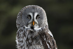 Great Grey Owl with Eyes Closed. A Great Grey Owl (Strix nebulosa) with it's eyes closed stock photo