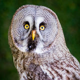 Great Grey Owl. With eyes wide open stock photography
