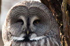 Great grey owl face Stock Images