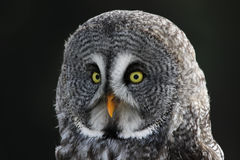 Great Grey Owl Face. The face of a Great Grey Owl (Strix nebulosa stock photo