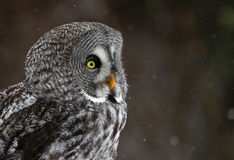 Great Grey Owl Face. The face of a Great Grey Owl (Strix nebulosa) with snow falling in the background Royalty Free Stock Image