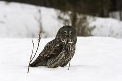 A Great Grey owl in a field Stock Photography