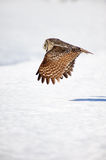 Great grey owl in flight Royalty Free Stock Photography