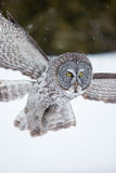 Great Grey Owl in flight Royalty Free Stock Photos