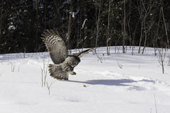 A Great Grey Owl in flight. Honing in on a mouse stock image