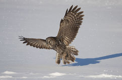 Great grey owl in flight over a snow covered field  Stock Images