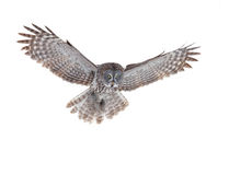 Great grey owl (Strix nebulosa) isolated against a white background hunting over a snow covered field in Canada stock images