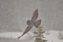 Great Grey Owl flying in a Canadian Rocky Mountain winter storm Royalty Free Stock Images