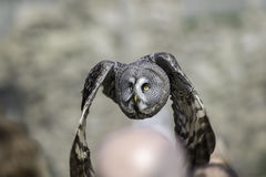 Great Grey Owl flying low over people's heads. Great Grey - Gray - Owl (Strix nebulosa) flying low over people's heads at a public bird of prey display royalty free stock image