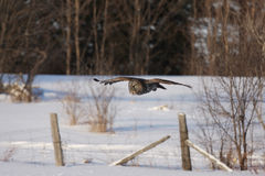 Great grey owl (Strix nebulosa) hunting over a snow covered field in Canada stock photos