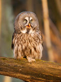 Great grey owl in forest - Strix nebulosa. Screeming great grey owl on branch - Strix nebulosa stock images